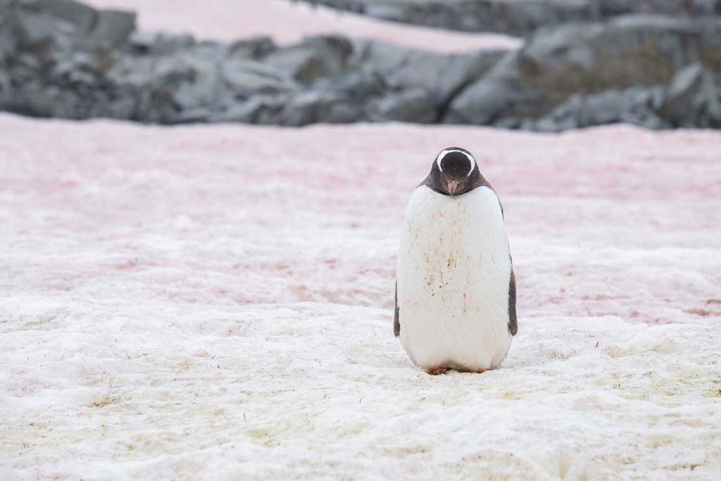 Pink snow on Petermann Island, Antarctic peninsula