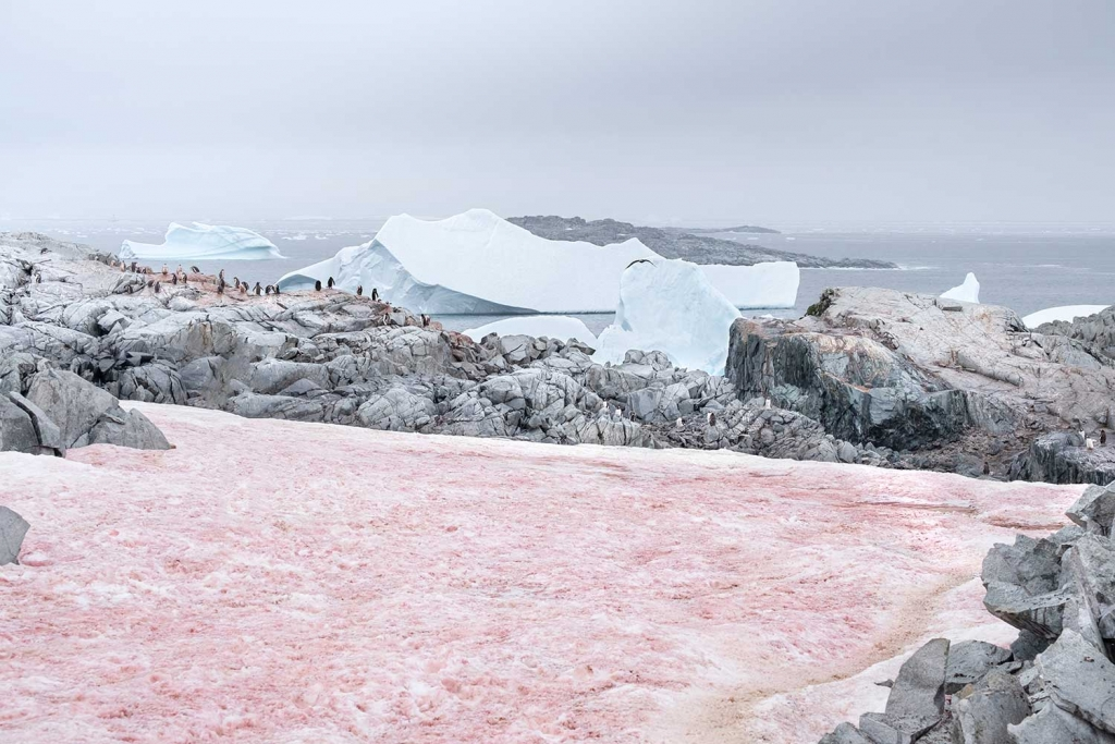 Pink snow covered glacier